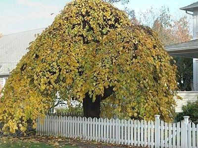 Какое дерево посадить около дома. Предания наших Предковъ